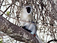 clues-to-future-evolution-of-hiv-come-from-african-green-monkeys