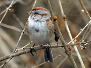 cell-death-in-sparrow-brains-may-provide-clues-in-age-related-human-diseases