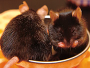 memory-processes-restored-in-mice-with-mental-impairment