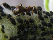 herding-aphids-howfarmer--ants-keep-control-of-their-food