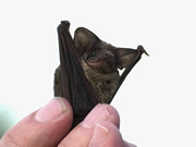 researchers-studying-how-singing-bats-communicate