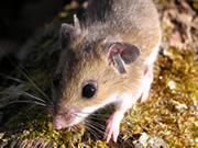 mice-roar-message-genetic-change-happens-fast