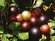 researchers-study-potential-health-benefits-of-natural-chemicals-in-muscadine-grape-seeds