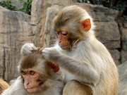humans-and-monkeys-share-machiavellian-intelligence